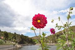 """""""Flores en el dique San Jernimo"""" (Marcelo Savoini) Tags: flowers flores argentina nikon crdoba vr dique sanjernimo 18200mm sooc sb900 d7000"""