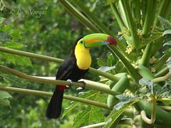 Ramphastos sulfuratus (luvaduju09) Tags: birds costarica tucan ramphastossulfuratus qualitygold
