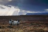 Sally, Sue and Sandy (eibrandr) Tags: mountains clouds sheep bog tourmakeady darktable