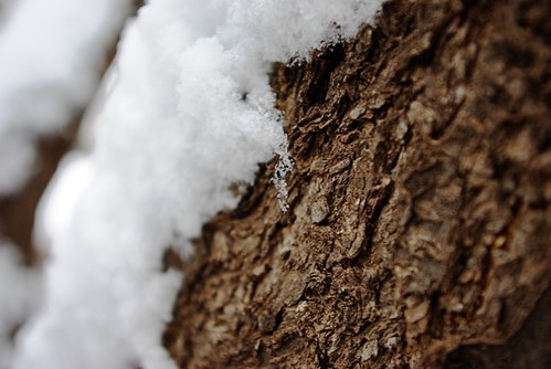 Snow on Bark