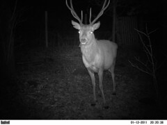 "Night Visitor (nz_willowherb) Tags: winter night garden see scotland back tour visit tourist visitor reddeer bushnell killin to"" ""go trophycamera visitkillin seekillin gotokillin"
