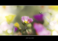 flowers and sunshine #2 (e.nhan) Tags: flowers light flower art nature closeup landscape spring colorful colours dof bokeh arts vietnam backlighting enhan mywinners abigfave