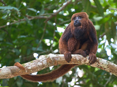 Brown Howler (Alouatta guariba) (PeterQQ2009) Tags: brazil monkey mammals