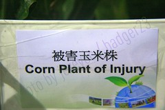 Funny Engrish Sign - Corn Plant of Injury!  2439 (Badger 23) Tags: plant english sign corn funny label humor chinese bad injury humour translation engrish lustig laugh haha language chinglish sein engraado signe divertente zeichen drle badtranslation grappig signo znak jezevec enklas  tegn   merkki mrk   chinesetoenglish    badger23  taipeifloraexpo