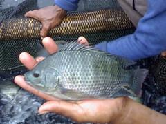 nila hitam (Ibenks0089) Tags: album air ikan kolam tawar