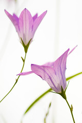 IMG_0614 (Andreas*D) Tags: white flower macro backlight canon eos blossom bokeh magdeburg 7d 2010 ef100mmf28macrousm