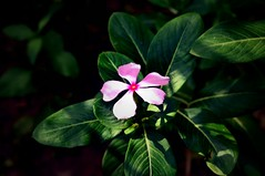 Sunshine flower.... #Sunrays #Flower #pinkflower #sunshine #dark #closeup (Patiljayendra) Tags: dark sunrays sunshine pinkflower closeup flower smallflower nature wallpaper konkan