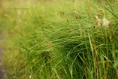 The lovely grass (Vratsagirl) Tags: anniejapaudphotography connemara newvillageforest photography summer summerfeeling vratsagirl outdoors grass green wild nature 50mm