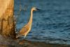 Enjoying the Sunset (Happy Photographer) Tags: florida gulfofmexico pier bird sunset evening light nature wildlife amyhudechek nikon200500f56 reddish egret