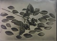 Year of still life,  September (Jari Savijrvi) Tags: wetplate tintype fkd 13x18 yearofstilllife september largeformat
