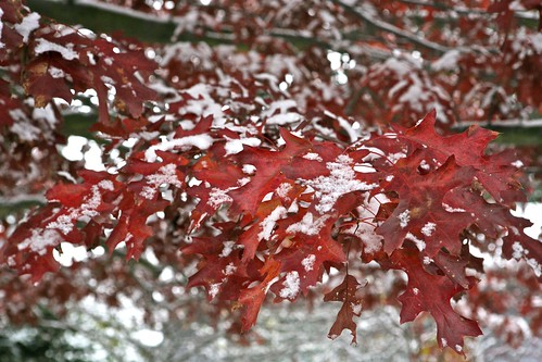 Red Oak, First Snow