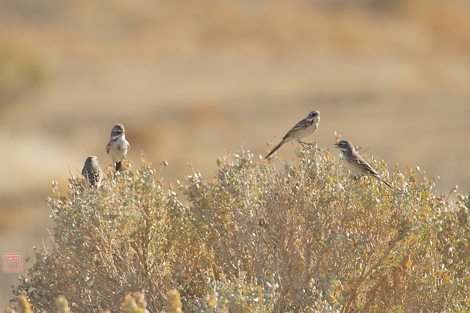 Sage Sparrow 11101-5