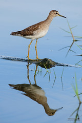Wood Sandpiper (Scolopacidae) / Kedidi Kayu (Sir Mart Outdoorgraphy) Tags: birds magazine education nikon photographer bokeh outdoor birding best malaysia penang indah birdwatching birder butterworth birdisland byram unik nikonian d90 migratorybirds bairam menarik nikonuser nibongtebal jurugambar penangflickr sigma150500 pulauburung sirmart outdoorgraphy penangflickrgroup pulauburong kedidikayu woodsandpiperscolopacidae