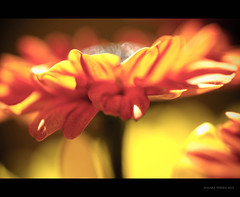 Bokeh bouquet  {EXPLORE!} (RiaPereira - here but mostly there) Tags: light orange flower macro colors yellow canon dof bokeh 100mm 7d fallflowers thanksgivingbouquet happybokehwednesday bokehbouquet riapereira warmyellowsandoranges