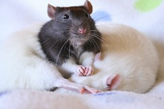 Well...obviously! (Honey Pie!) Tags: cute paw rat adorable linus cupcake pata fancyrat ratazana