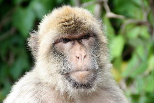 Gibraltar Barbary Macaques