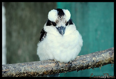 DSC_1508 (-LauraFlora) Tags: uk bird birds wales nikon llandudno austrailian austrialia anglesey singingbirds kookaboro cookaborough nikond300 qualitygold cookaboro austrialianbirdsbirds