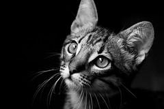 [フリー画像] 動物, 哺乳類, ネコ科, 猫・ネコ, モノクロ写真, 201012111100