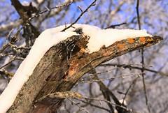 The lichen bird (:Linda:) Tags: snow bird germany woods village thuringia lichen flechte vogel similarto resembling ähnlich lumberpile bürden