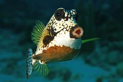 Oooooooooooooooooooo (laszlo-photo) Tags: fish underwater tropical caribbean ahhh curaçao coralreef oooo trunkfish lactophrystriqueter spongeforest