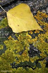 OTOÑO 14 / Autumn (ángel mateo) Tags: ángelmartínmateo otoño ríoandarax fondón almería andalucía españa árbol musgo ocre amarillo hoja humedad spain andalusia autumn tree leaf yellow ocher moss moisture ángelmateo laalpujarra