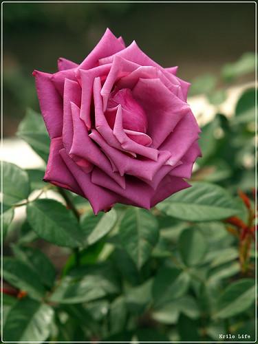 2010 士林官邸 紫精靈