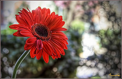 Front side (ottootto1968) Tags: world light red italy flower colors canon bokeh explore gerbera frontpage frontside ottootto1968 mm24105