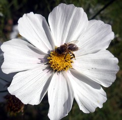 White cosmos & bee. (maya_dragonfly) Tags: sky white plant macro nature insect ilovenature whiteflower flora fallcolors bluesky olympus cosmos helluva macrophotos gardenflower masterphoto nachylek autumn10