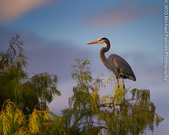 The Wako Herons Are Back (Michael Pancier Photography) Tags: heron birds blueheron wako greatblueheron palmbeachcounty wakodahatcheewetlands commercialphotography naturephotographer floridabirds michaelpancierphotography avianphotography delraybeachflorida fineartphotographer floridaavianphotography michaelapancier wwwmichaelpancierphotographycom