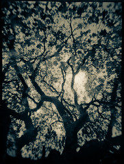 Another tree that I like (Andreas Ulvo) Tags: camera tree vintage spanish medium format 6x45 bakelite capta 45x6