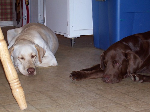 Buckeye and Archie - Labrador Retrievers