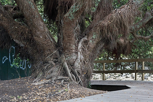 Hairy pohutukawa roots