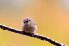 Birds of BC - Bushtit - Psaltriparus minimus (Wizard of Wonders) Tags: canada bird nature closeup branch bc wildlife small feathers tiny bushtit psaltriparusminimus passerines 11cm birdsofbc