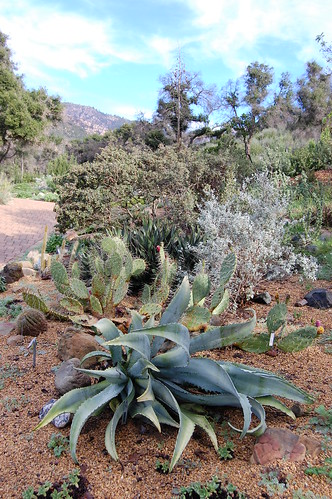 Agave species