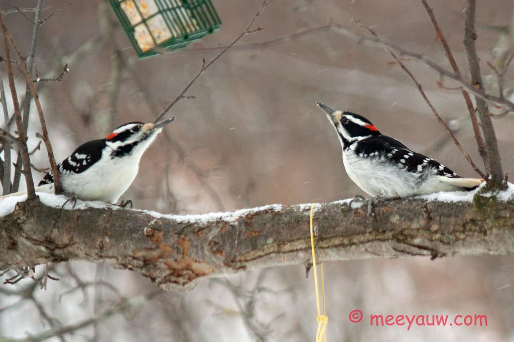 Woodpeckers    022.jpg