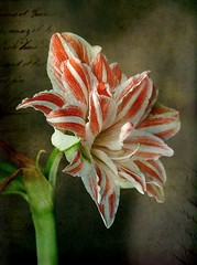 Amaryllis (mamietherese1) Tags: stilllife expression ngc textures vip sensational rs topgun visualart fa oa tistheseason ourtime givemefive coth callingallangels greatphotographers 100faves kartpostal bej fantasticnature impressedbeauty ultimateshot memoriesbook concordians floralessence fabulousphoto fabuleuse excellentsflowers rubyphotographer tatot 100commentgroup extremebouquet goldenart dragondaggerphoto piexcellance sublimemasterpiece artistictreasurechest heavenlycaptures capturethefinest vipveryimportantphotos don'tworrybehappy redmatrix magicunicornverybest magicunicornmasterpiece sailsevenseas coppercloudsilvernsun newgoldenseal fugitivemoment fleursetpaysages gfeffe heavensshots flickrsportal abokehoflight untouchabledream lovelymotherearth healinglightofthespirit itsallaboutflowers christmaspicturegallery odetojoyodeàalegria flickrstruereflection1 flickrstruereflection2 trueexcellence1