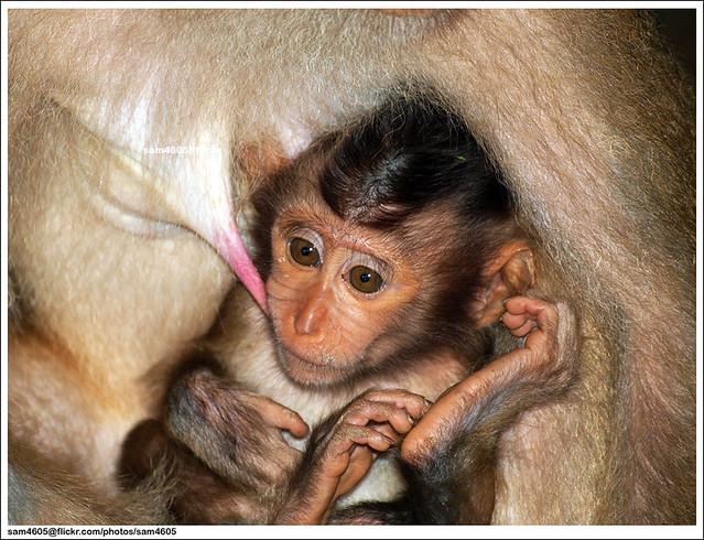 Baby Monkey @ Sepilok