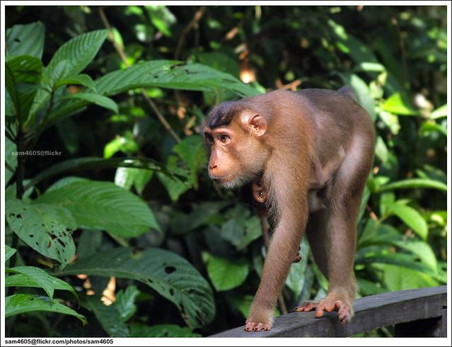 Monkey @ Sepilok