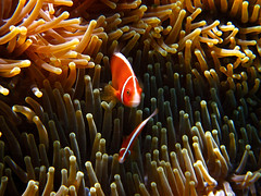 Pink Anemonefish (Jesper Blow) Tags: fish water coral canon underwater nemo oz dive australia qld queensland cairns greatbarrierreef pinkanemonefish