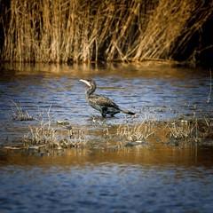 Cormorant (doublejeopardy) Tags: bird dorset cormorant charmouth jurrasic phalacrocoraxcarbo