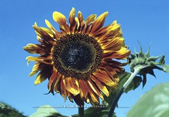 Sunflower (astikhin) Tags: flowers blue summer sky plants plant blur flower nature yellow horizontal closeup out season outside outdoors one petals blurry focus alone exterior seasons natural bright blossom blossoms grow blurred growth single sunflowers sunflower bloom softfocus summertime growing blooms unfocused illuminate medicinalplant summerflower helianthus medicinalplants summery outdoorshots royaltyfree summerflowers outfocus outdoorphoto outdoorphotos exteriorshots helianthusannuus foodcollection medicinalflowers exteriorshot outdoorshot medicinalflower herbalplant herbalplants closerangephotograph