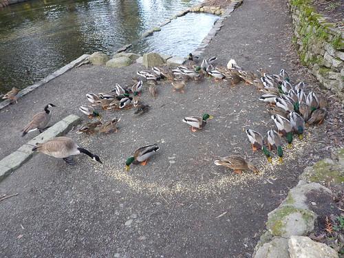 Duck circle three