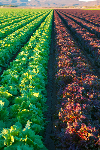 Red and Green Lettuce