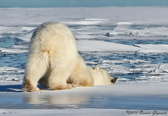 Polar Bear 3436 (Bonnieg2010) Tags: bear canada polarbear churchillmanitoba theunforgettablepictures churchillpolarbear bonniegrzesiak