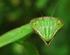 Come Closer (Damon Bay) Tags: macro green eye nature up japan mantis insect eyes eyecontact all close praying workshop chiba  100 50 ws  comecloser    g9 chibaprefecture   mantiseyes japanesefauna gettyartistpicks amazingmantisphoto closepray