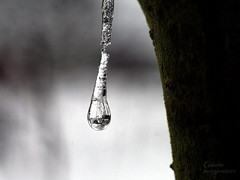 hanging in there (galerie morgenstern) Tags: winter tree ice water rain frozenwater frozenrain galeriemorgenstern tinyworldinice