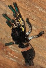 Indian Ornamental Tarantula (canikon1998) Tags: park tampa zoo spider florida indian tarantula ornamental lowry