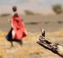 tanzania (peo pea) Tags: africa portrait tanzania martin kingfisher masai pescatore uccello colorphotoaward