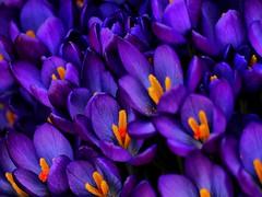 Purple Crocus (saxonfenken) Tags: orange flower yellow garden spring purple many crocus superhero storybook twocolours bigmomma gamewinner 8996 challengewinner friendlychallenges herowinner storybookwinner pregamewinner 8996crocus