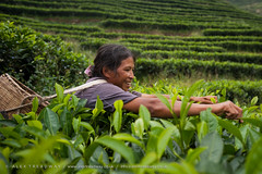 Tea leaves (Alex Treadway) Tags: china blue asian asia tea chinese east yunnan eastern picking